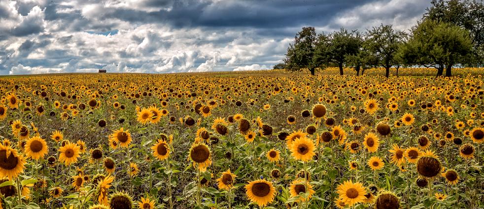 Sonnenblumenfeld bei Talheim
